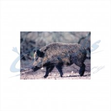 Delta Tru-Life Target Face Wild Boar : DT27